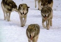 wolf_pack_trot_small